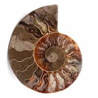 Amonita fósil de doble corte y pulido.