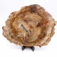 Rebanada de madera fósil