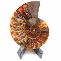 Fósil de Amonita Pulida