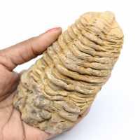 Trilobite fósil