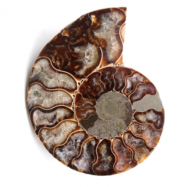 Amonita fósil