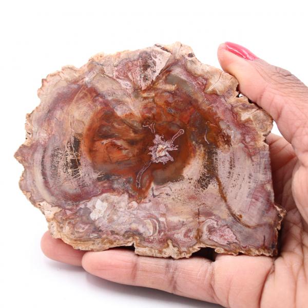 Rebanada de madera fósil petrificada
