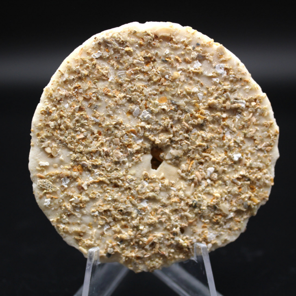 Scutella, erizo de mar fósil